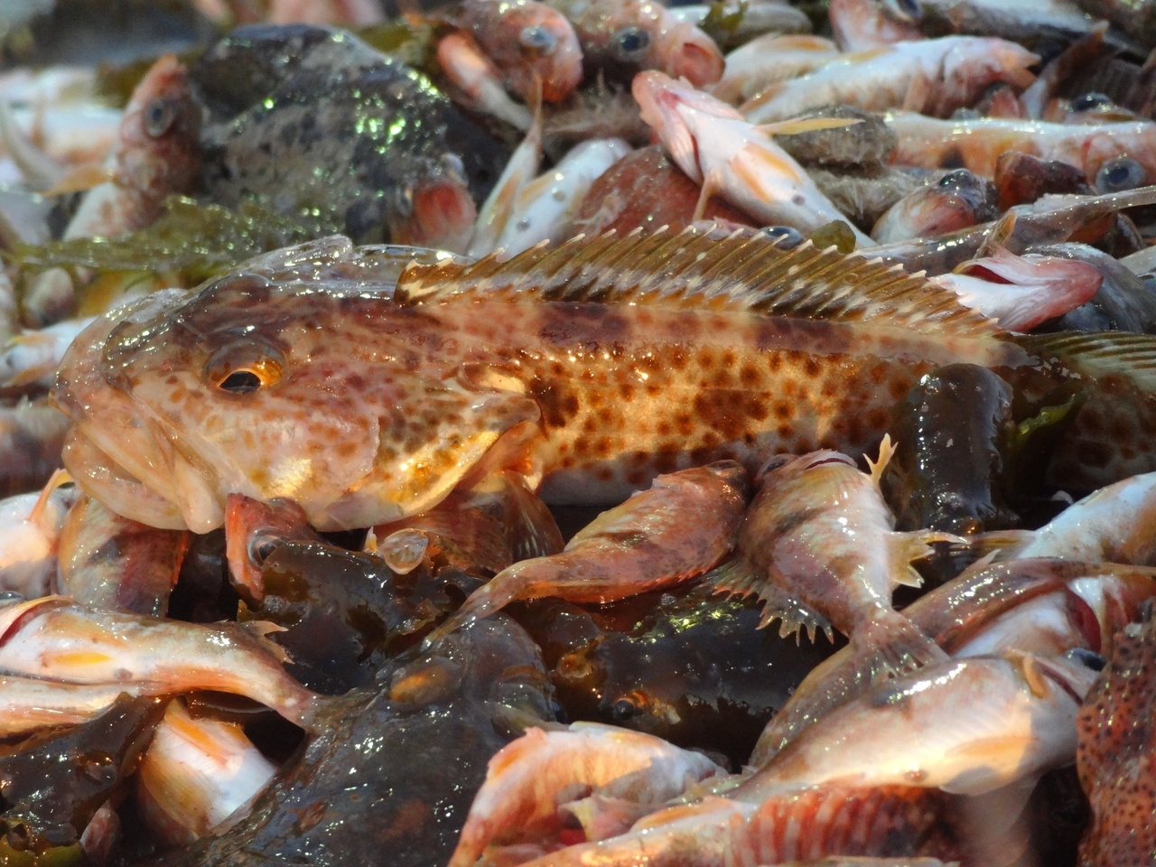 """The biggest environmental story that no one knows about"""": The recovery of groundfish off the West Coast"""