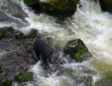 Proposed Pebble Mine in Alaska will endanger brown bears – and much more