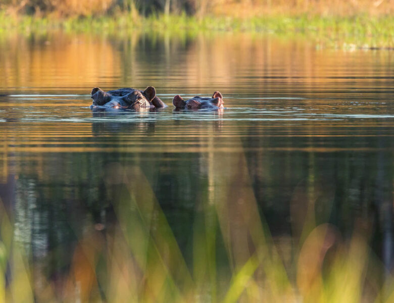 Could Colombia's Escobar escaped hippos help the environment?